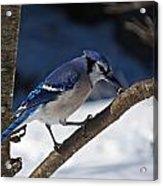 Hungry Winter Blue Jay Acrylic Print