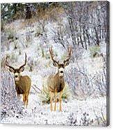 Winter Bucks Acrylic Print