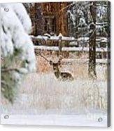 Winter Doe Acrylic Print
