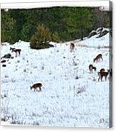 Winter Grazing Acrylic Print