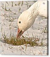 Wintering Snow Goose Acrylic Print
