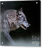 Wolf On The Prowl Acrylic Print