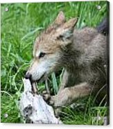 Wolf Pup Acrylic Print