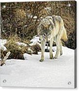 Wolf River Acrylic Print