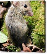 Wood Mouse Acrylic Print