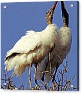 Wood Stork Courtship Display Acrylic Print