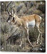 Wyoming Pronghorn Acrylic Print