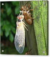 Year Of The Cicada Acrylic Print