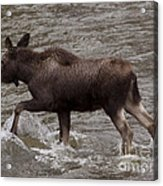 Yearling Moose In The Shoshone River   #1289 Acrylic Print