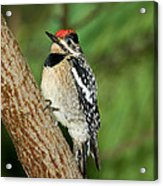 Yellow-bellied Sapsucker Acrylic Print