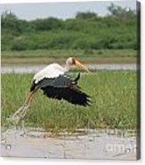 Yellow-billed Stork Mycteria Ibis Acrylic Print