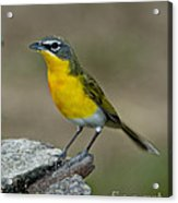 Yellow-breasted Chat Acrylic Print