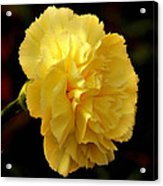 Yellow carnation flower framed print by johnson moya yellow carnation flower acrylic print mightylinksfo