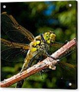 Yellow Dragon Acrylic Print
