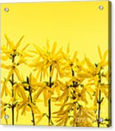 Yellow Forsythia Flowers Acrylic Print
