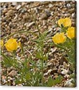 Yellow Horned Poppy (glaucium Flavum) Acrylic Print