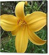 Yellow Lilly Flower Acrylic Print