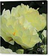 Yellow Peonies 1 Acrylic Print