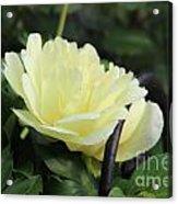 Yellow Peony Acrylic Print