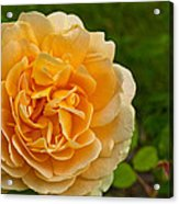 Yellow Rose Acrylic Print