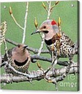 Yellow-shafted Northern Flickers Acrylic Print