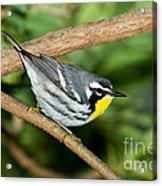 Yellow-throated Warbler Acrylic Print