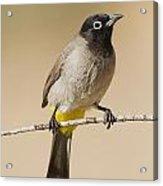 Yellow-vented Bulbul Pycnonotus Xanthopygos Acrylic Print
