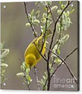 Yellow Warbler -1 Acrylic Print