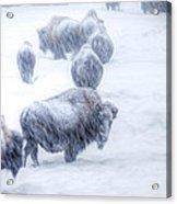 Yellowstone Bison Acrylic Print by David Yack