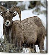 Yellowstone Ram Acrylic Print by David Yack