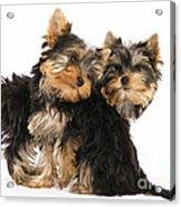 Yorkie Puppies Acrylic Print