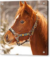 Young Horse In Winter Day Acrylic Print