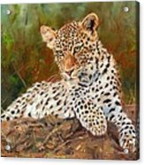 Young Leopard Acrylic Print