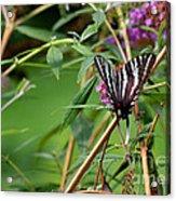 Zebra Swallowtail Butterfly At Butterfly Bush Acrylic Print