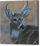 8 Point Buck Acrylic Print