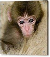 Baby Snow Monkey, Japan Acrylic Print