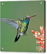 Broad-billed Hummingbird Acrylic Print