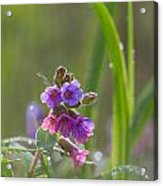 Common Lungwort Acrylic Print