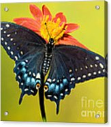 Eastern Black Swallowtail Butterfly Acrylic Print