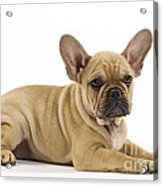 French Bulldog Puppy Acrylic Print