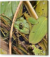 Frog Acrylic Print