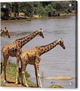 Girafe Reticulee Giraffa Camelopardalis Acrylic Print