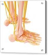 Human Foot Nervous System Acrylic Print