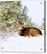 Mule Deer In Snow Acrylic Print