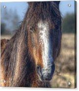 New Forest Pony Acrylic Print