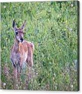 Pronghorn Antelope Portrait Acrylic Print