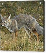 Patagonia Grey Fox Acrylic Print
