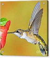 Ruby Throated Hummingbird Acrylic Print