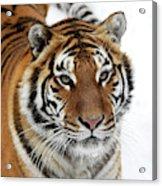 Tigre De Siberie Panthera Tigris Altaica Acrylic Print