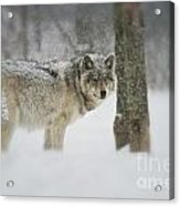 Timber Wolf Pictures Acrylic Print by Wolves Only